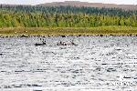 caribou-crossing-george-river.jpg