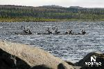 caribou-grossing-george-river.jpg