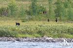 george-river-black-bears.jpg